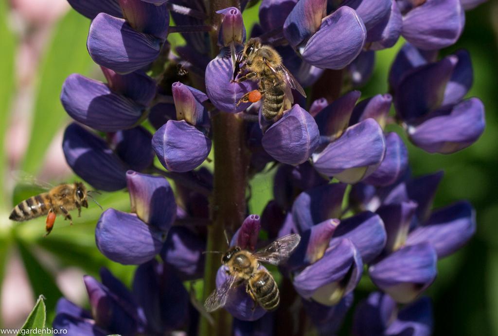 Albinele colectează polen din florile de lupin