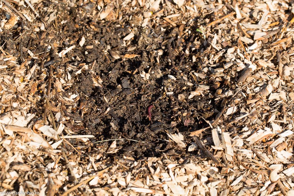 Mulciul din crengi tocate menține umiditatea în sol și se transformă în compost