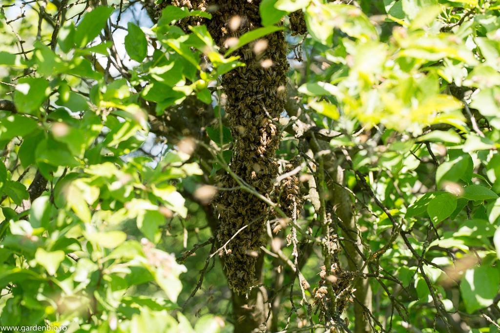 Roiul de albine gata pentru captare în coșniță