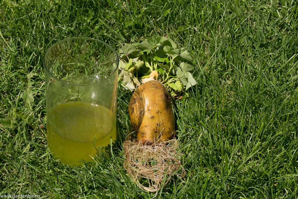Rădăcini de cartof dulce