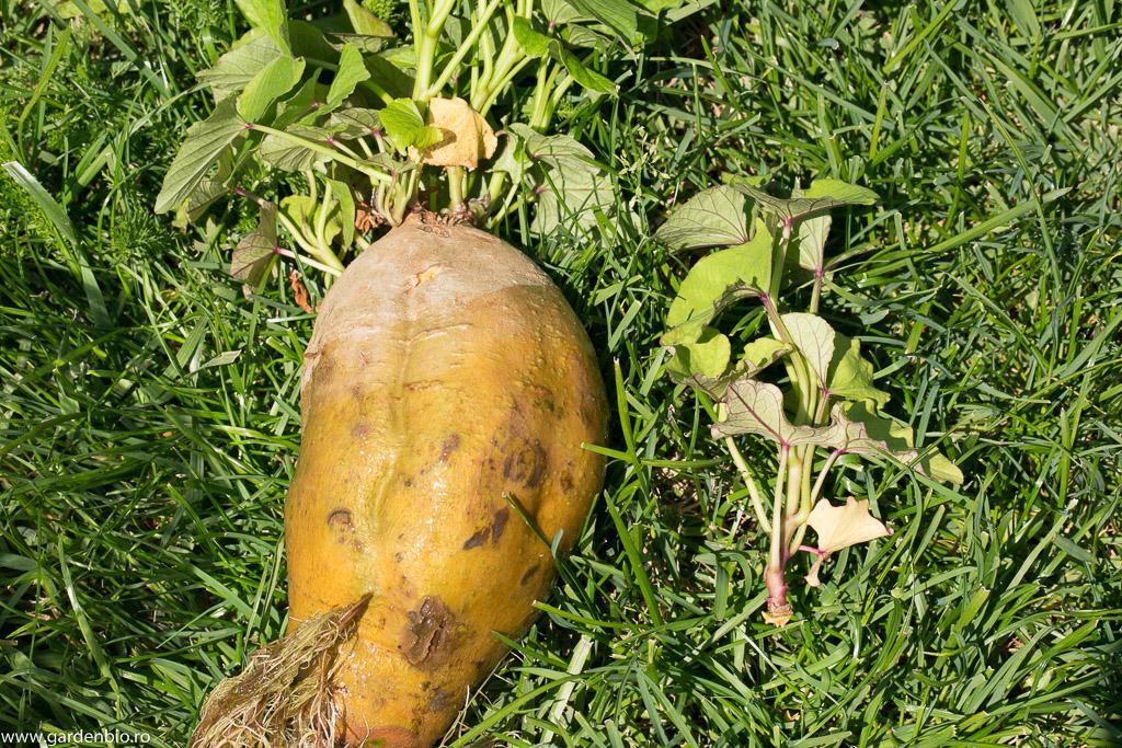 Lăstarii se rup la 15-20 cm și se pun în apă pentru a-și dezvolta rădăcini