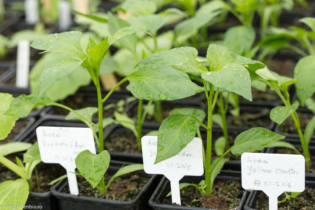 Răsadurile de ardei urmează să fie plantate în strat