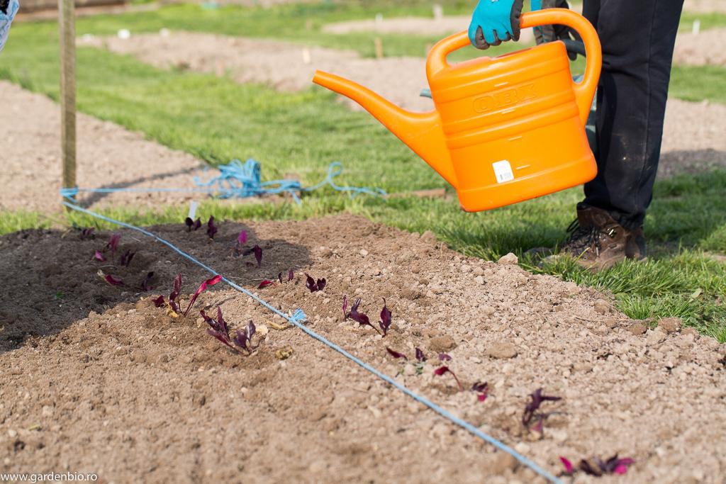 Răsadurile se udă după plantare