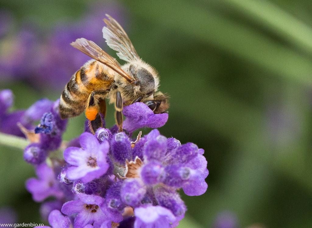 Albinele culeg nectarul și polenul din florile de lavandă