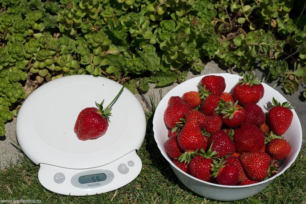 În urma polenizării căpșunii sunt mai viguroși, mai sănătoși