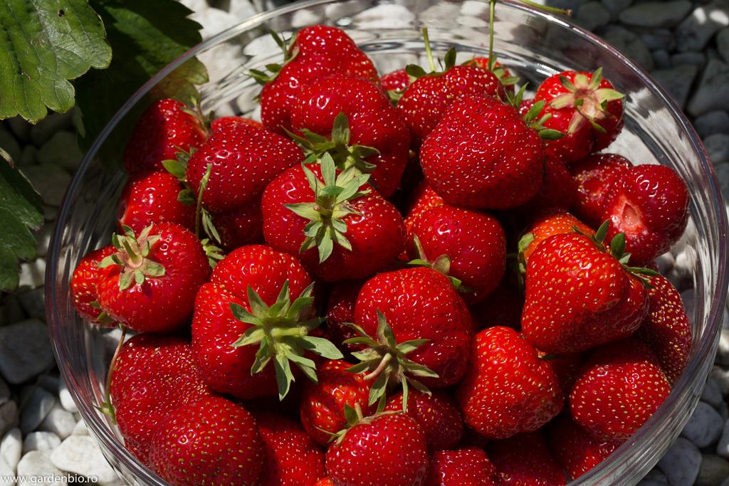 Cei mai delicioși căpșuni - soiul Alice