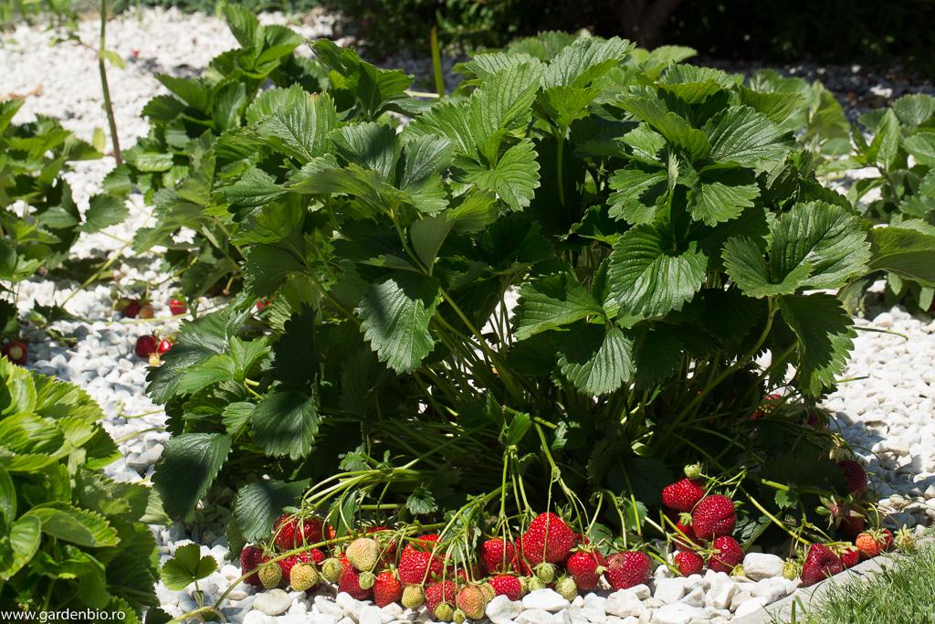 Rezultatul polenizări albinelor - abundență de fructe pe tufa de căpșuni