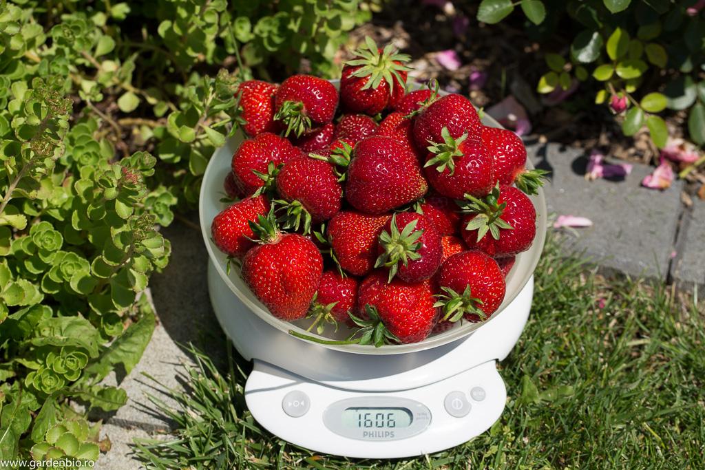 Recolta de pe o tufă de căpșuni dintr-o zi