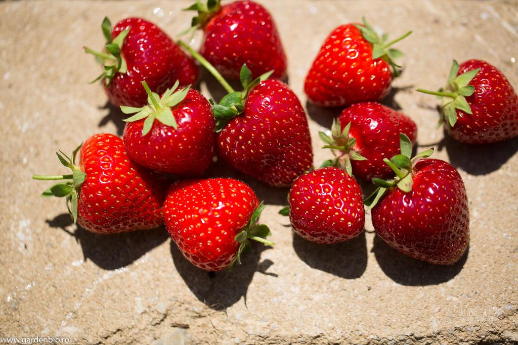 Căpșuni soiul Cambridge Favourite