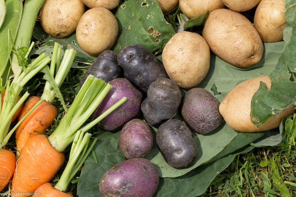 Cartofi mov, Collen și morcovi Chantenay Red Cored