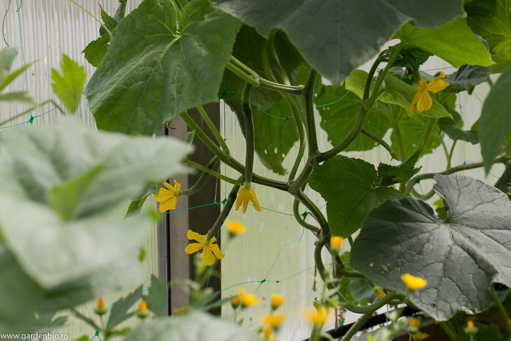 La castraveții Telegraph toate florile sunt de sex feminin și fructifică