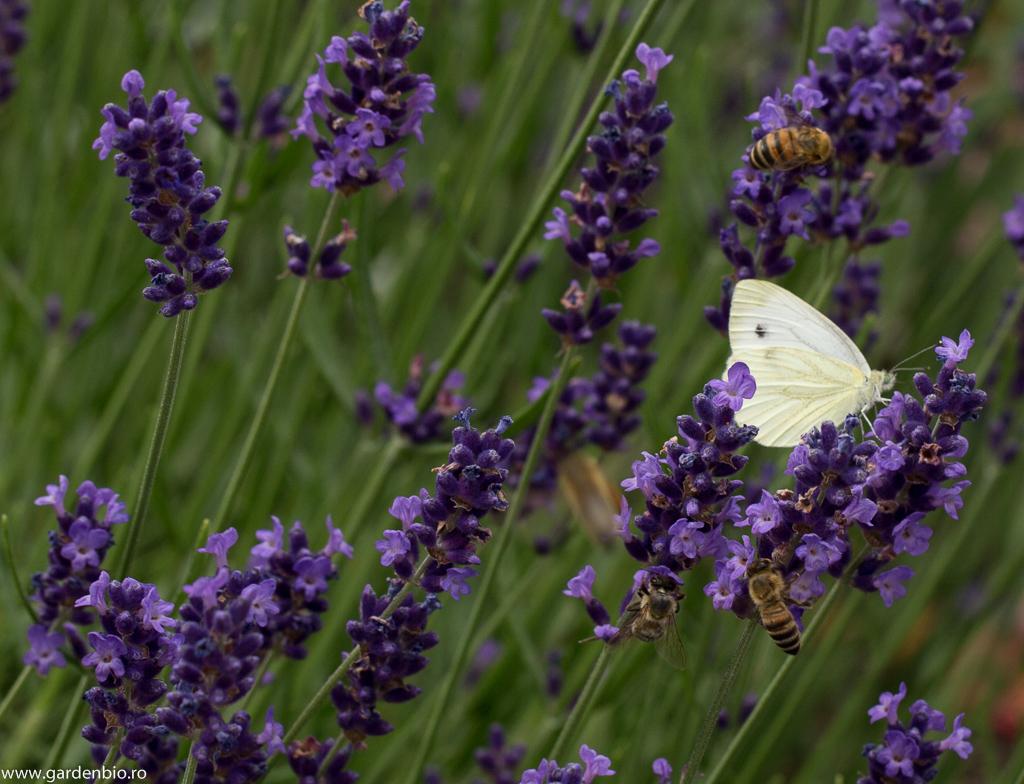 Fluturele alb alături de albine