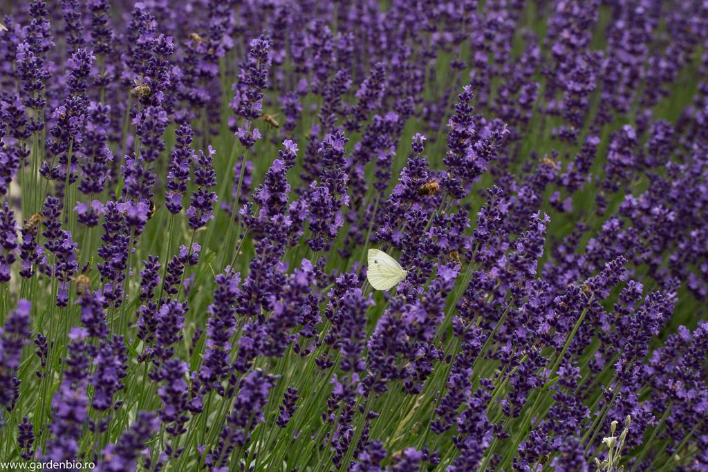 Fluturele alb alături alte insecte culeg nectarul din florile de lavandă