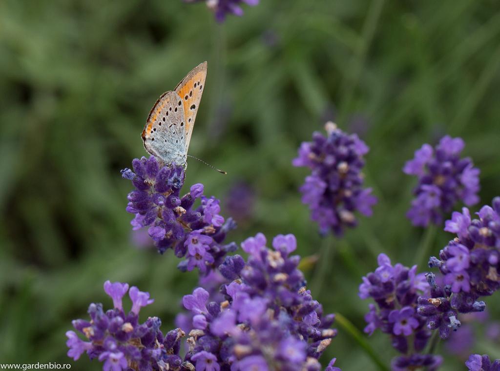 Fluturele purpuriu (Lycaena dispar) specie protejată, pe cale de dispariţie