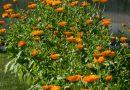 Gălbenelele – companioni perfecți în grădina ecologică