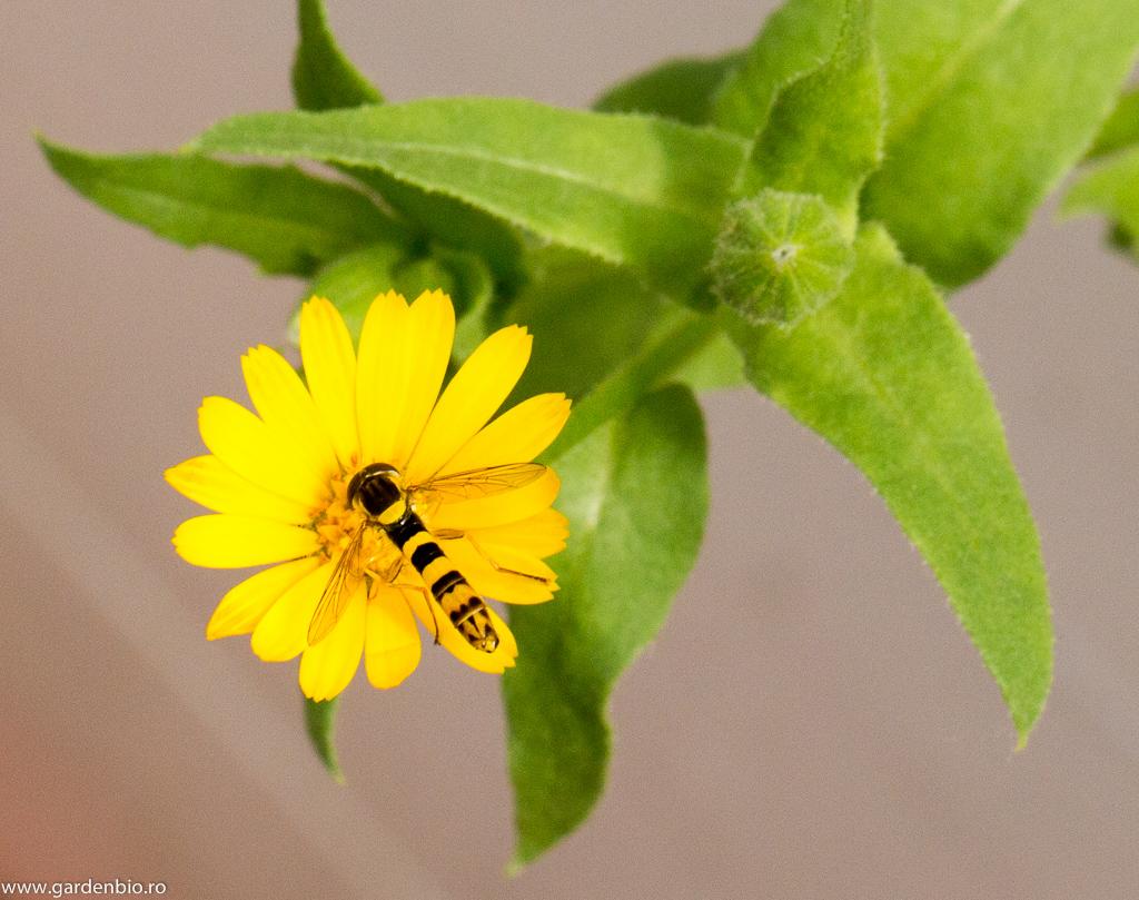 Gălbenelele Acker, atracție irezistibilă pentru insectele din familia Syrphidae - Sphaerophoria scripta