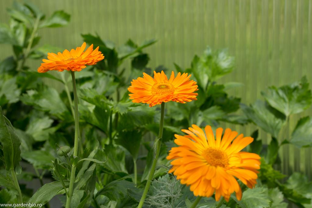 Gălbenele Orange