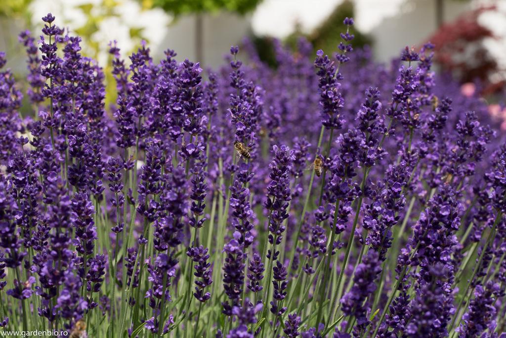 Lavanda, plantă meliferă - o atracție irezistibilă pentru albine