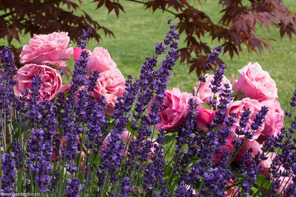 Lavandă și trandafiri roz Leonardo da Vinci, o combinație reușită de culori