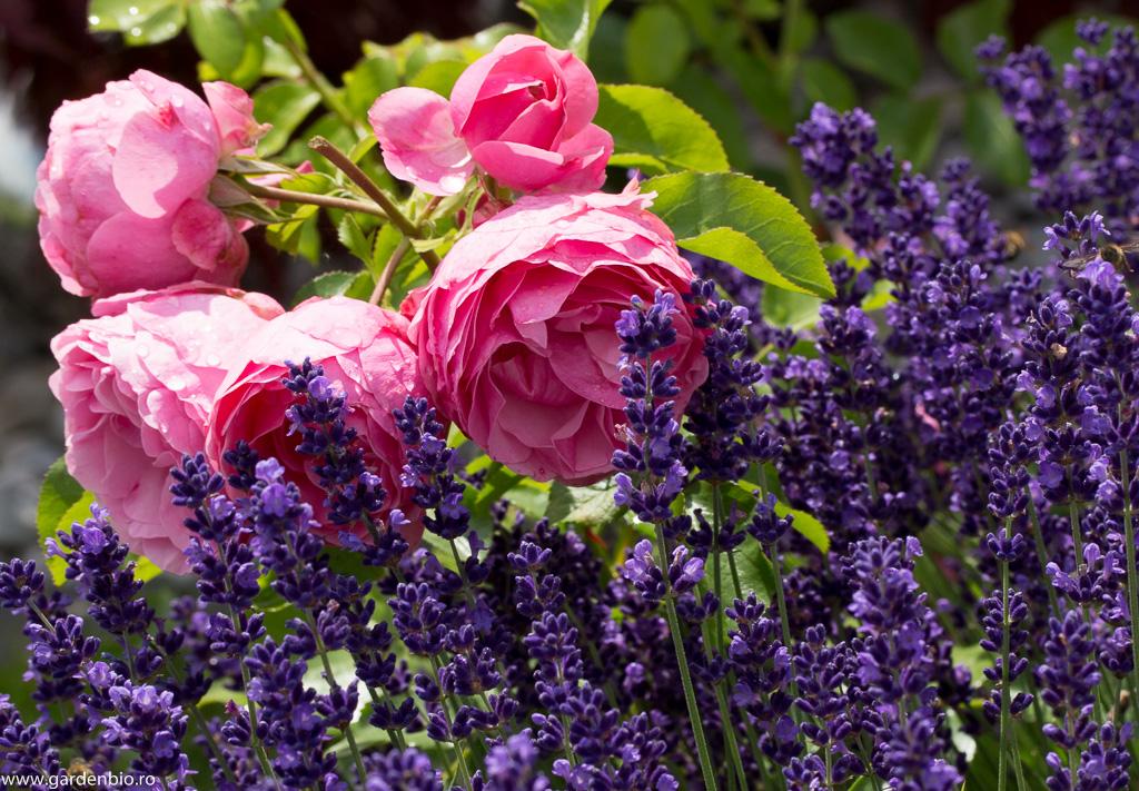 Lavandă și trandafiri roz - companioni perfecți