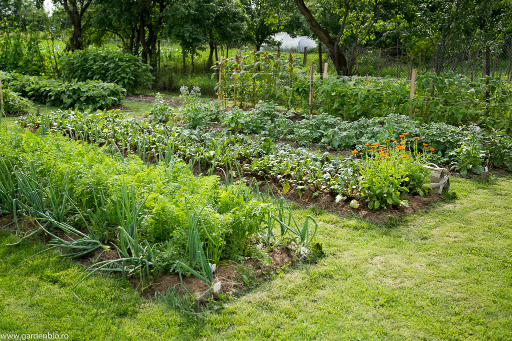 Straturi cu morcovi, ceapa, sfecla, galbenele, cartofi, amarant