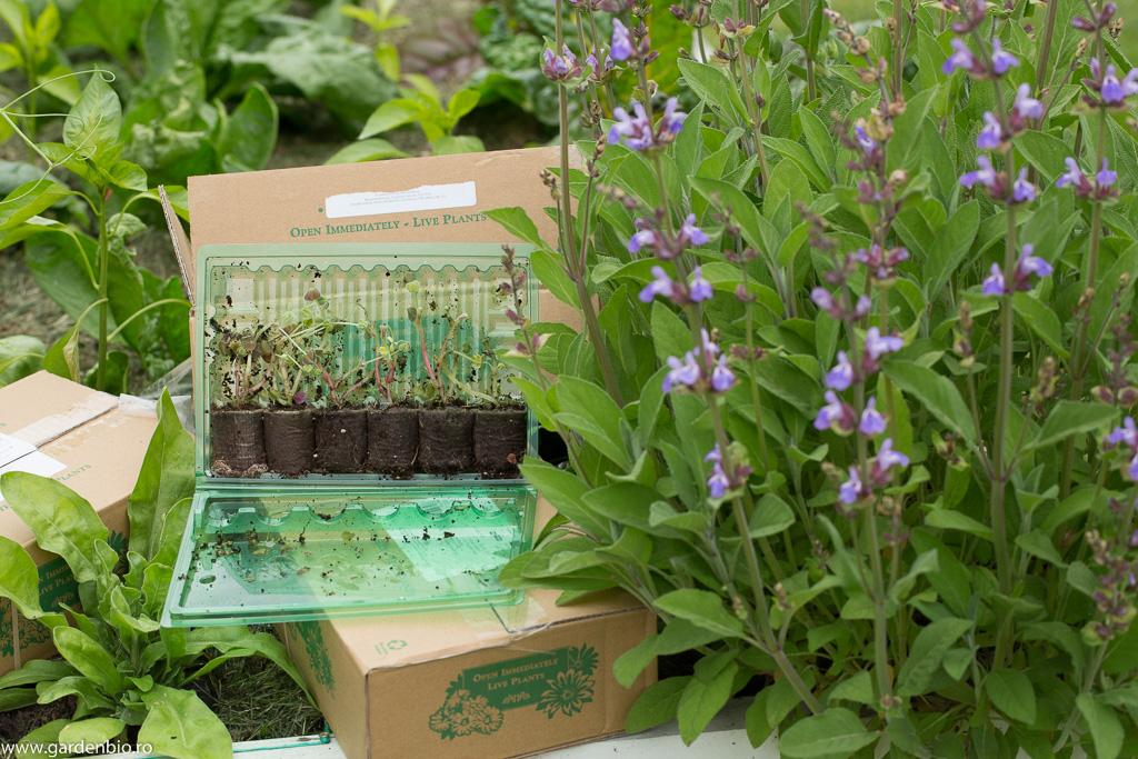 Primele răsaduri de oca care urmează să fie plantate în grădină