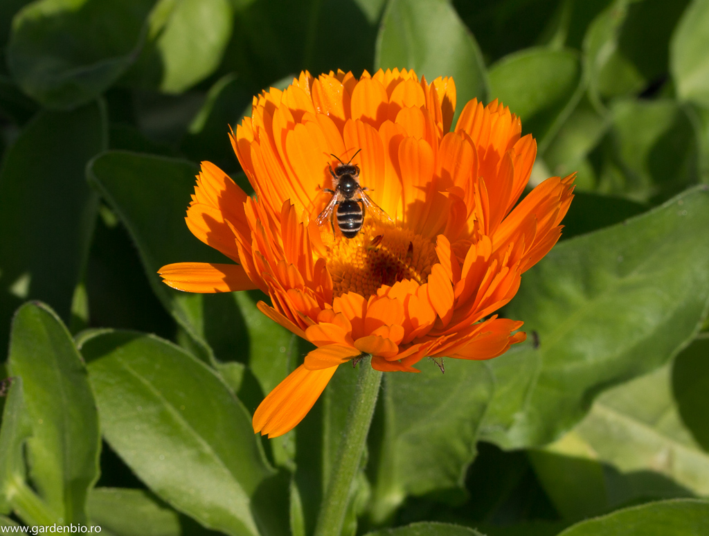 Gălbenelele Orange atrag insectele benefice - Scaeva pyrastri
