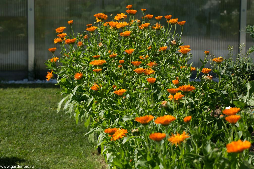 Gălbenele Orange în strat
