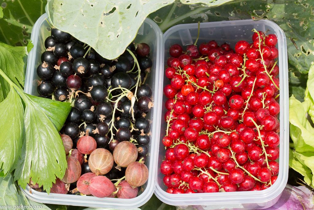 Ribisli, coacăze și agreșe proaspăt culese din grădină