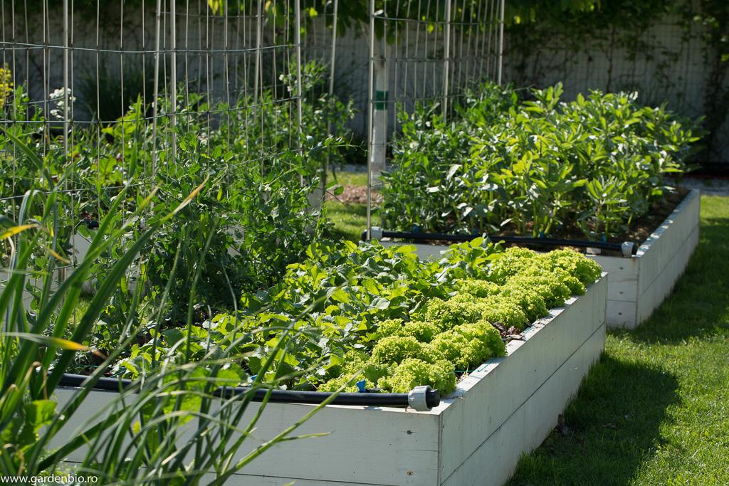 Straturi cultivate biointensiv cu salată, ridichi, mazăre şi fasole fava.