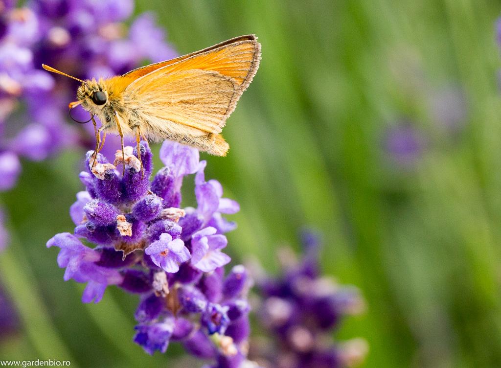Un fluture la care nu i-am identificat specia