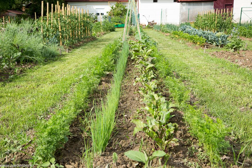Strat în grădina de la țară cu morcovi Berlicum, sfeclă roșie și ceapă pentru arpagic