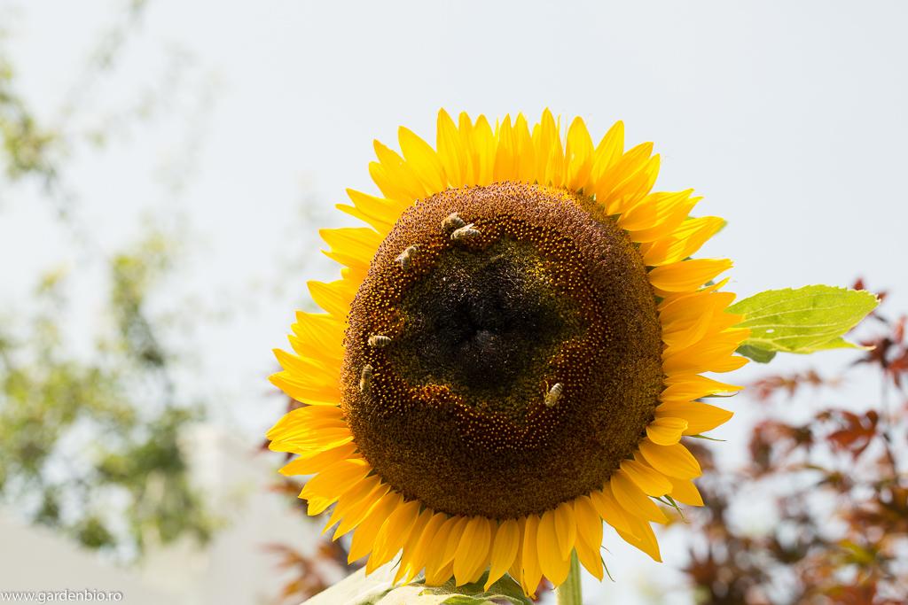 Albinele culeg polenul și nectarul de pe floarea soarelui din grădină