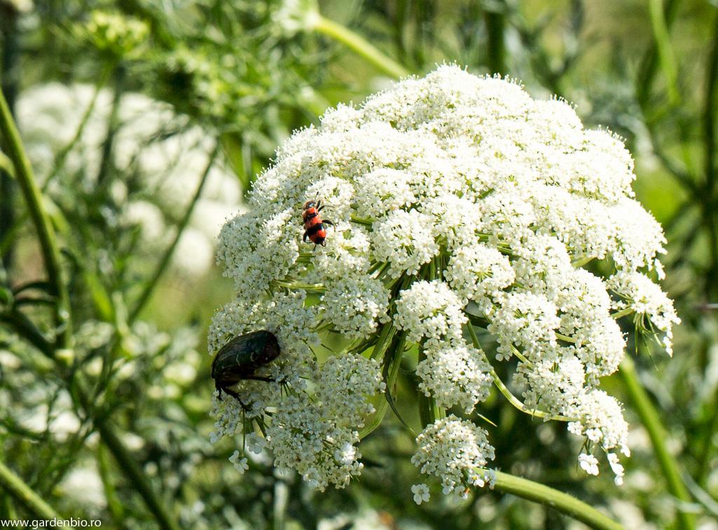 Cetonia aurata, Mylabris culeg nectarul din florile de morcov