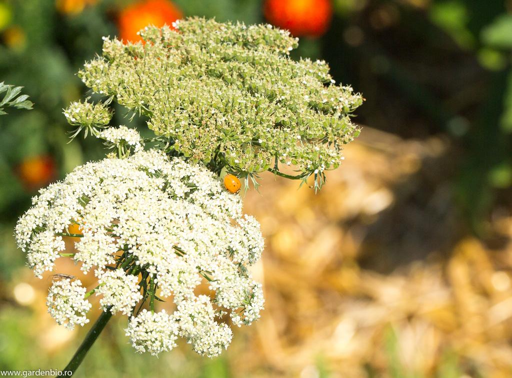 Buburuzele atrase de florile de morcovi