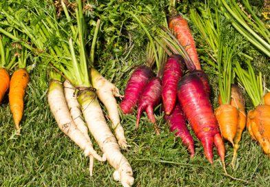 Morcovi în diferite culori