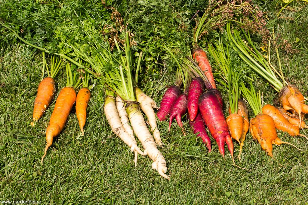 Recoltă de morcovi din grădina de la țară