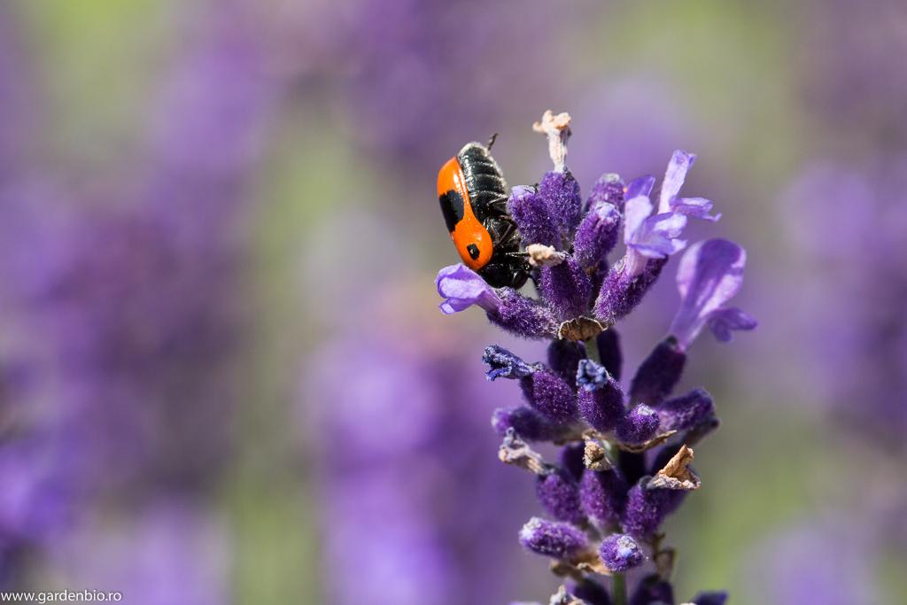 Mylabris culege nectar din florile de lavandă
