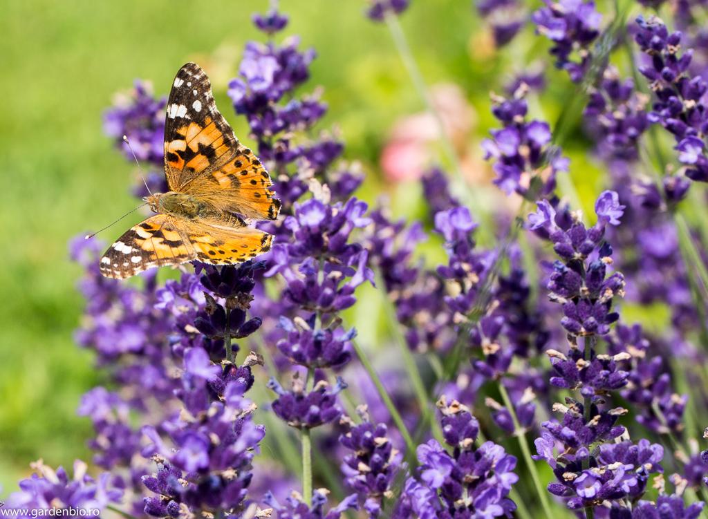 Un colorit superb al fluturelui Cynthia cardui