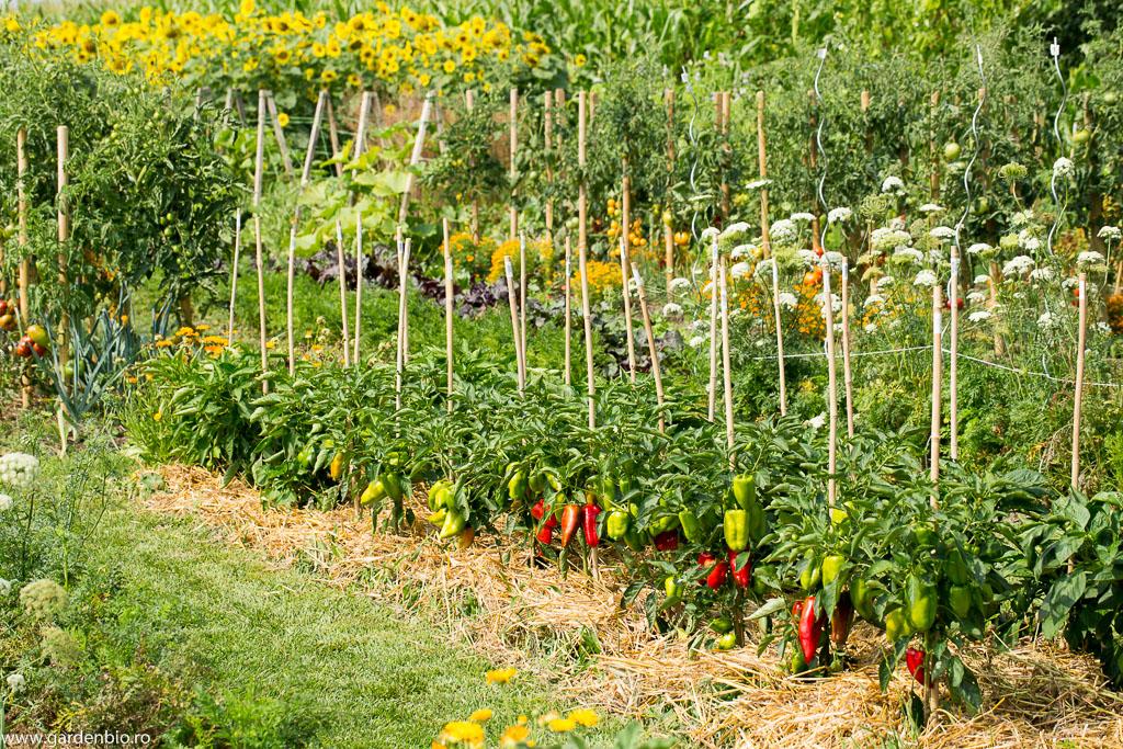 Straturi cu ardei și morcovi Pusa Rudhira Red ce au dezvoltat tulpină floriferă