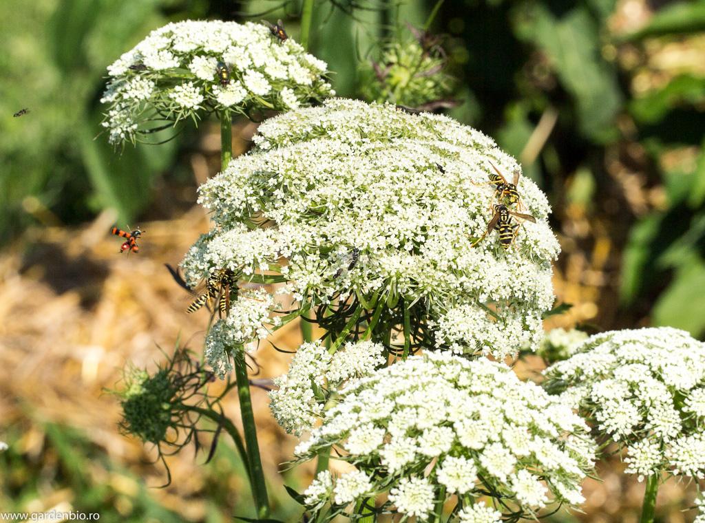 Polenul și nectarul florilor de umbelifere atrag multe insecte benefice în grădină - viespi, muște Mylabris, Chrysopa etc.