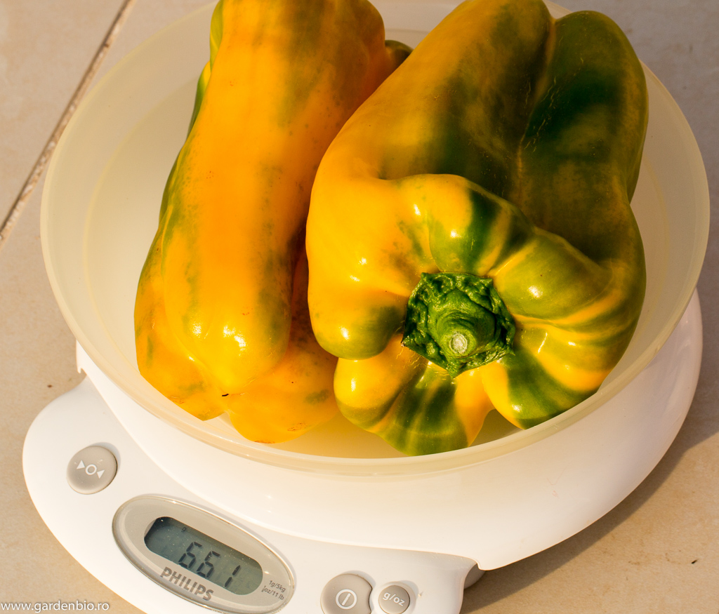 Ardei Yellow Monster, 2 bucăţi cântăresc 661 grame