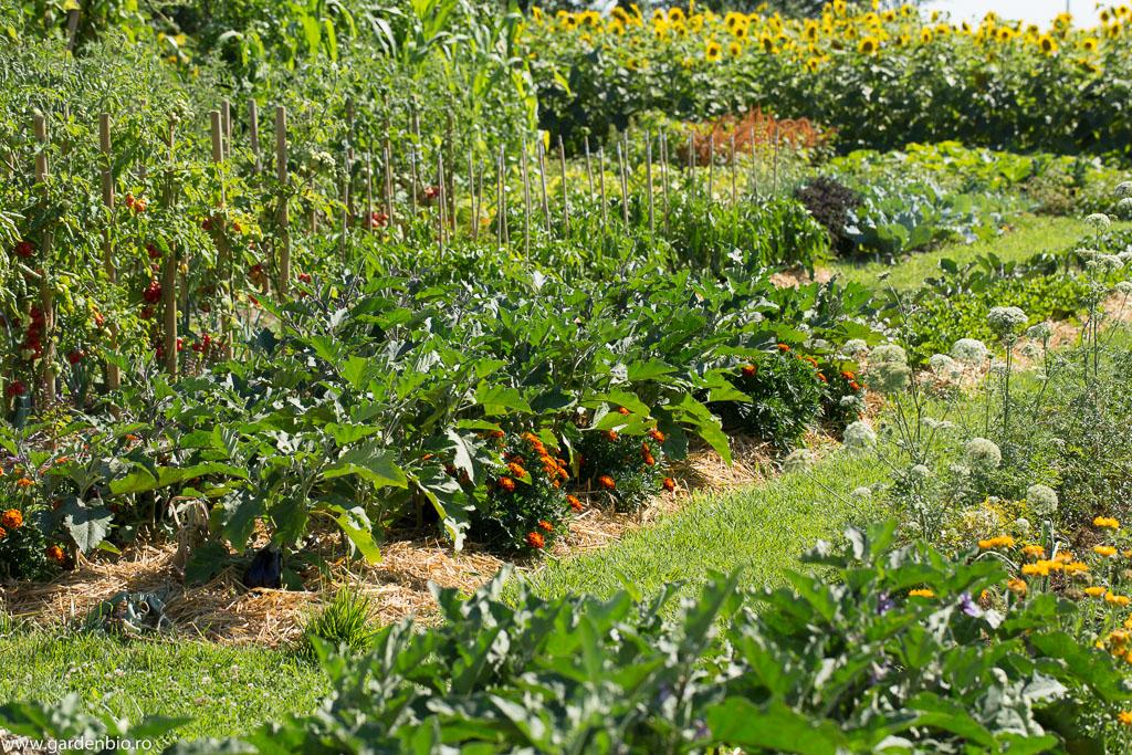 Strat cu vinete în grădina de la ţară