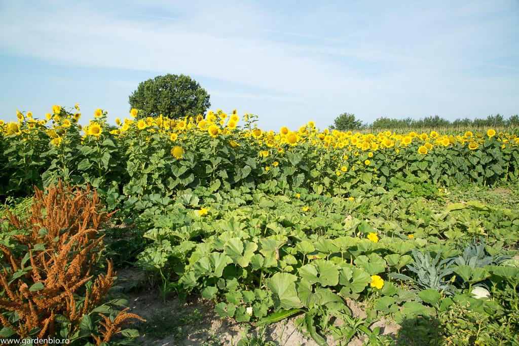 Amarant Golden Giant, floarea soarelui si dovleci in gradina de la tara