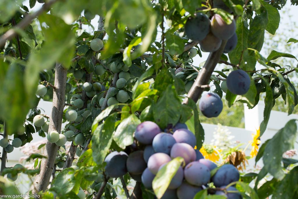 Abundență de prune pe crengi, în urma polenizării de către albine