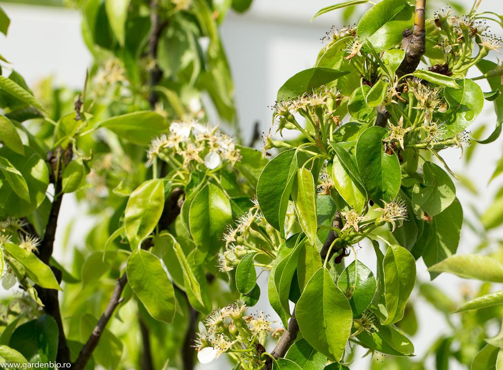"""În urma polenizării florilor de păr de către albine, acestea """"leagă"""" într-un procent foarte mare"""