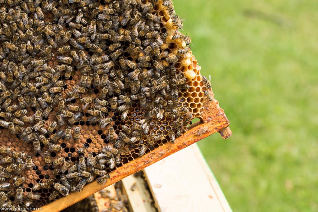 Ramă populată cu albine, în celulele hexagonale depun puietul și colectează mierea pentru hrănire