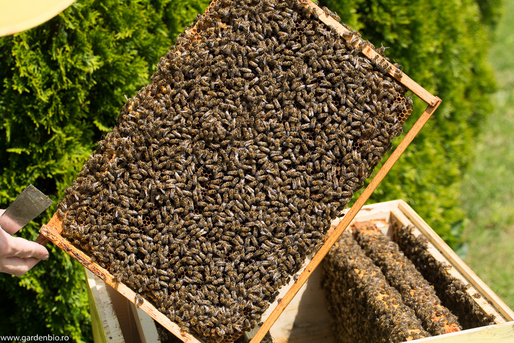 O inspecție a ramelor cu albine. Numărul mare de albine de pe rame arată că au avut hrană din abundență, astfel numărul mare de albine din familie impune suplimentarea ramelor din stup.