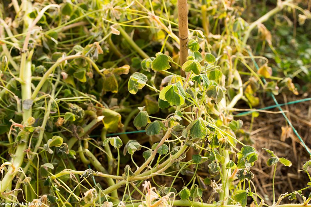 Planta de oca din seră de la care am recoltat primii tuberculi în luna ianuarie