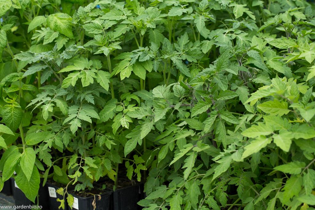 Roşiile după repicare şi plantare în pahare de plastic